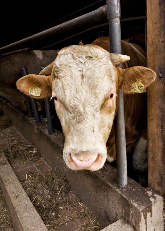 Kuh im Stall auf einem Bauernhof